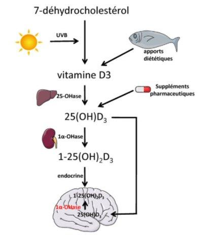 vitamine-d3-synthèse