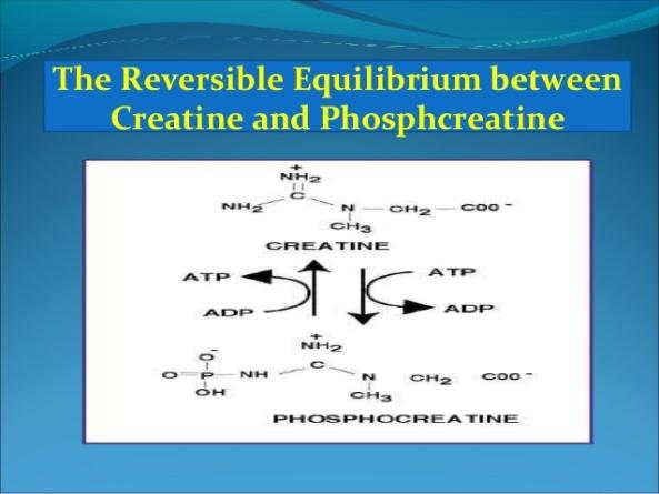 creatine-metabolism-10-638