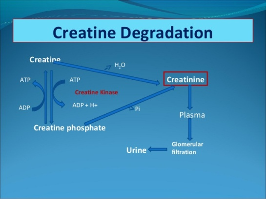 creatine-metabolism-14-638
