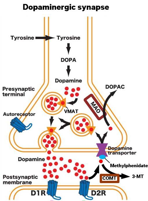 dopamine-synapse3.jpg