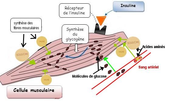 insuline-et-muscles