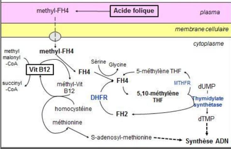 relation B9 B12 synthèse ADN