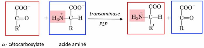transamination_B6